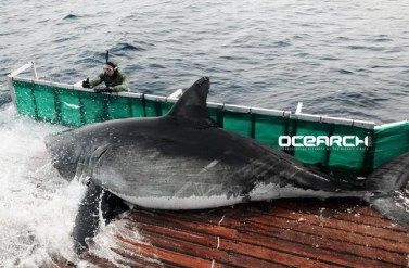 OCEARCH-Great-White-Newport-Buzz