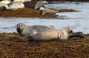 marine_mammals_seals_hilmer2010