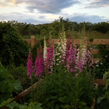Foxgloves at Celia Thaxter's garden