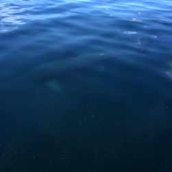 Basking shark sighting!!